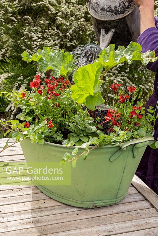 Step by Step container planting of Petunia 'Tumbelina', Diascia 'Romeo Red', Satureja Douglasii and Rhubarb