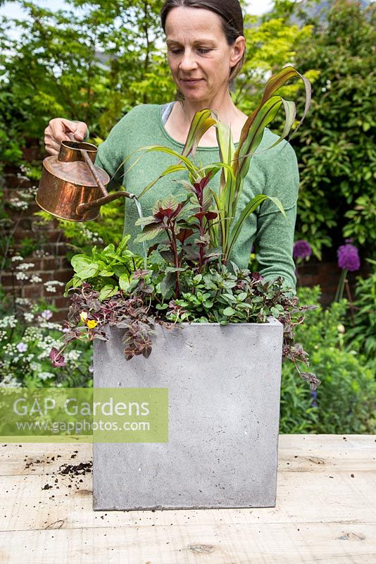 Step by Step - Planting a container of Chocolate Mint, Broadleaf Thyme, Red-veined Sorrel, Lysimachia 'Midnight Sun', Ornamental Millet 'Purple Baron' and Fuchsia bush 'Thalia'