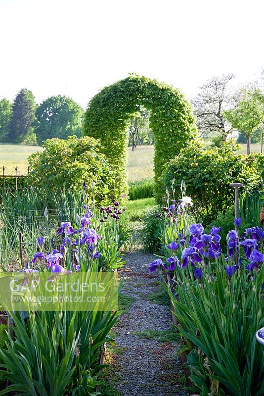 A clipped hornbeam arch with borders of Iris germanica. A gravelled path leads towards a wildflower meadows