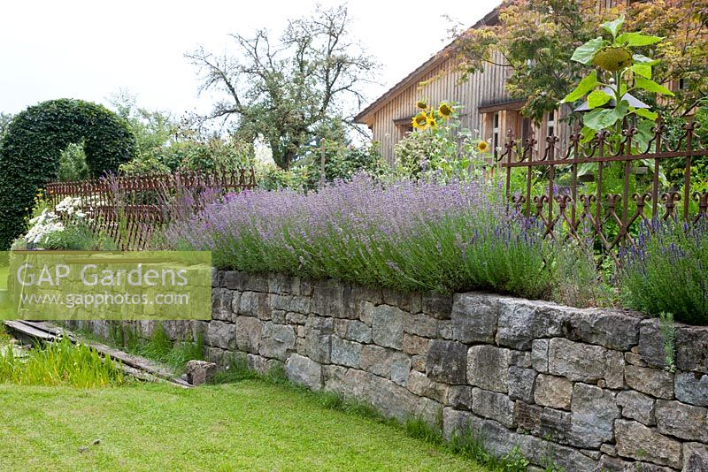 Gap Gardens Lavender Growing From The Top Of A Dry Stone