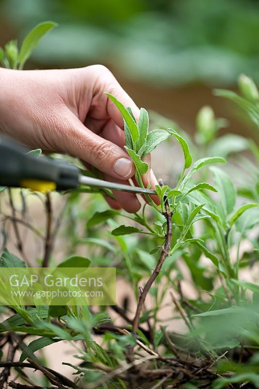 Propagation of sage Salvia officinalis. Taking cuttings from mature plant in summer.