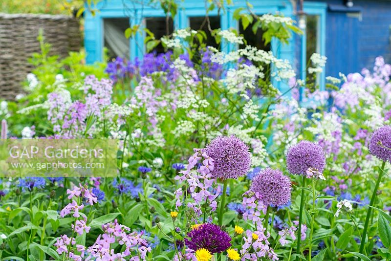 Cottage garden border with alliums and dame's violet with blue painted potting shed in background