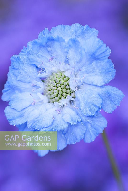 Scabiosa caucasica 'Clive Greaves', Scabious.  September, early autumn. Portrait of blue flower.