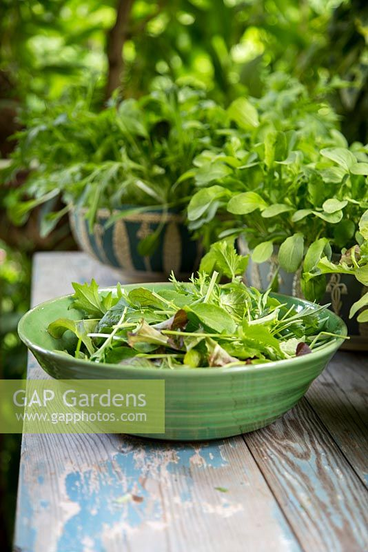 Step by Step -  Harvesting Mixed lettuce 'Contrasts', Niche Oriental mixed and Rocket