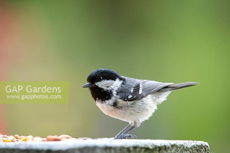 Periparus ater - Coal tit on bird table