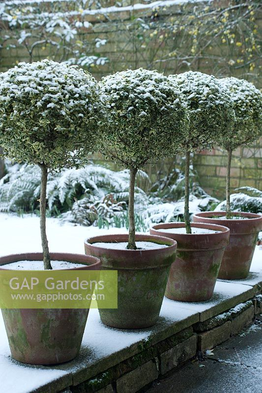 Variegated standard clipped Box trees in terracotta pots with light dusting of snow