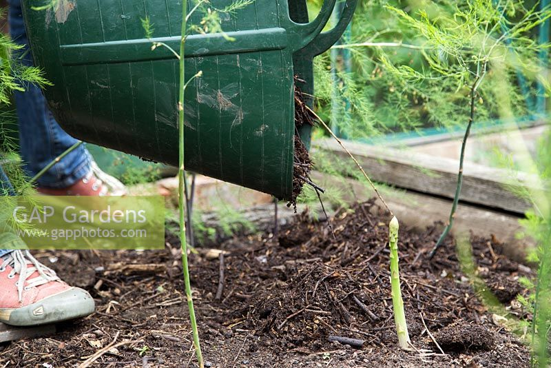 Step by step -  growing asparagus - spreading homemade mulch onto bed