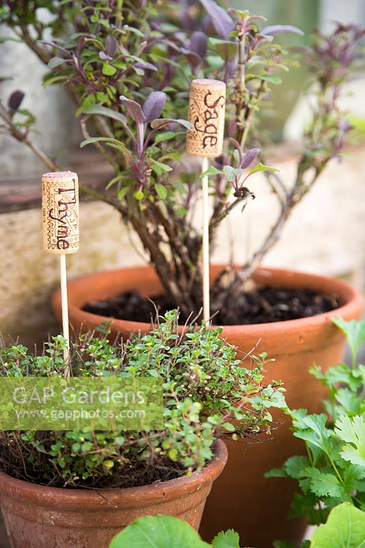 Recycled corks as plant labels - container planted herbs sage and thyme