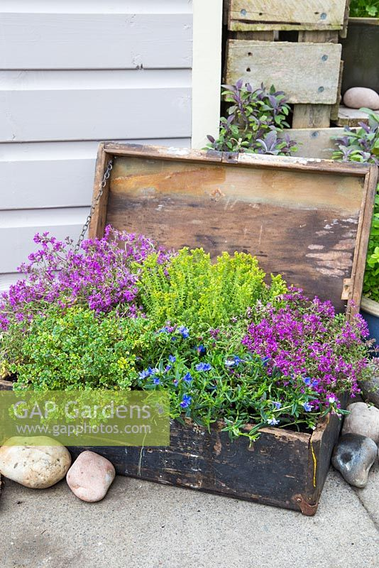 Step by step - Planted old wooden box with Thymus green/yellow and Thymus serpyllum coccineus