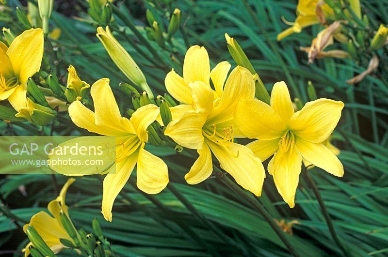 Gap gardens hemerocallis lark song day lily july plant hemerocallis lark song day lily july plant portrait of bright yellow flowers mightylinksfo