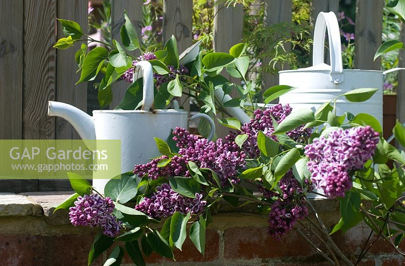 Syringa vulgaris 'Sensation' with white watering cans