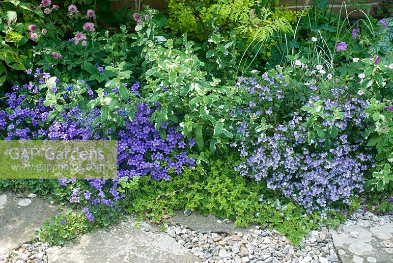 Border of low growing perennials with Parahebe catarractae, Campanula carpatica and pineapple mint