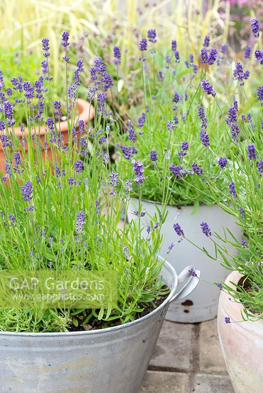 Containers of Lavender on small garden patio.