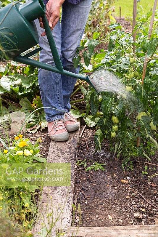 Step by Step - Watering tomatoes with liquid nettle feed