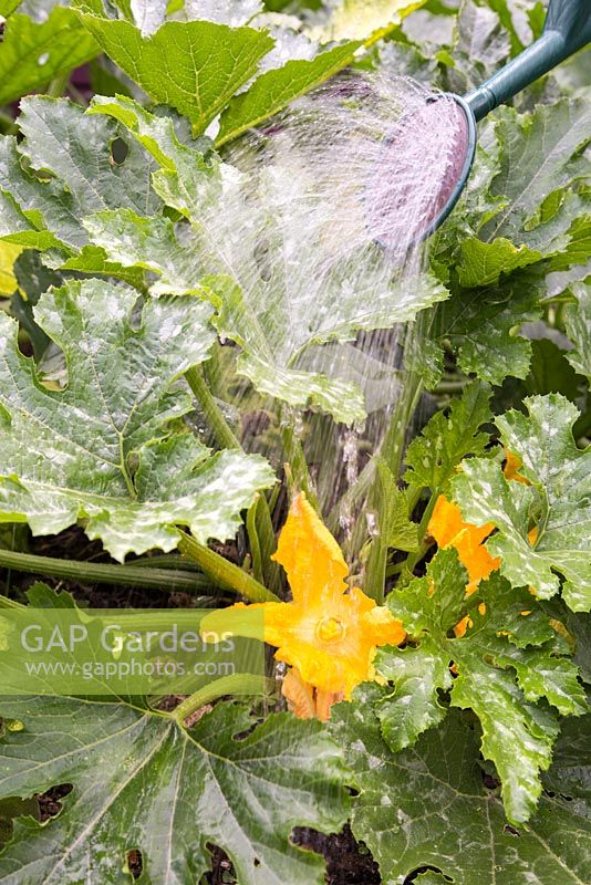 Step by Step - Watering Courgette 'Romanesco' with liquid nettle feed