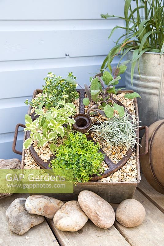 Step by Step - Creating a Herb Wheel container using Thyme 'Archer's Gold', Thyme 'Foxley', Curry plant - Helichrysum serotinum, Pineapple Mint - Mentha suaveolens 'Variegata' and Salvia officinalis 'Purpurascens'
