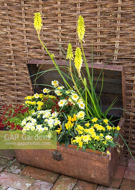 Step by Step - Creating a Treasure Chest container of Coreopsis 'Limerock Ruby', Coreopsis 'Pumpkin Pie', Argyranthemum 'Crested Yellow', Kniphofia 'Lemon Popsicle', Chrysanthemum and Ornamental Pepper.