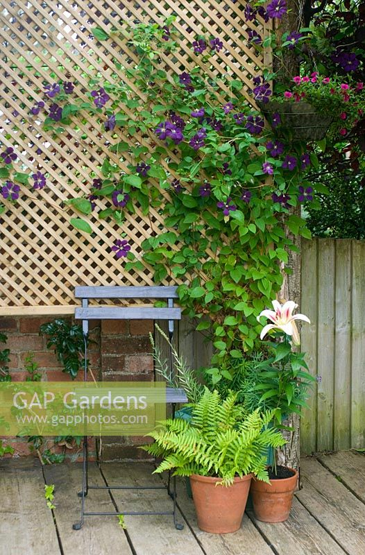 Painted seat with pots and Clematis viticella 'Etoile Violette' on trellis