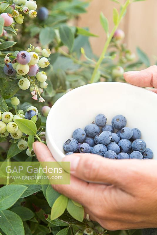 Step by Step - Harvesting Blueberry 'Sunshine Blue'