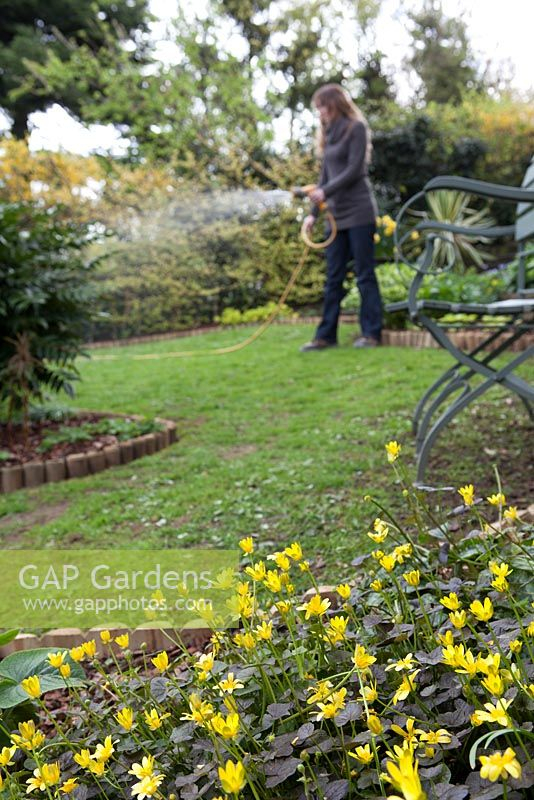 Lady watering lawn with hosepipe, foreground focus on cultivated Celendine 'Brazen Hussy'