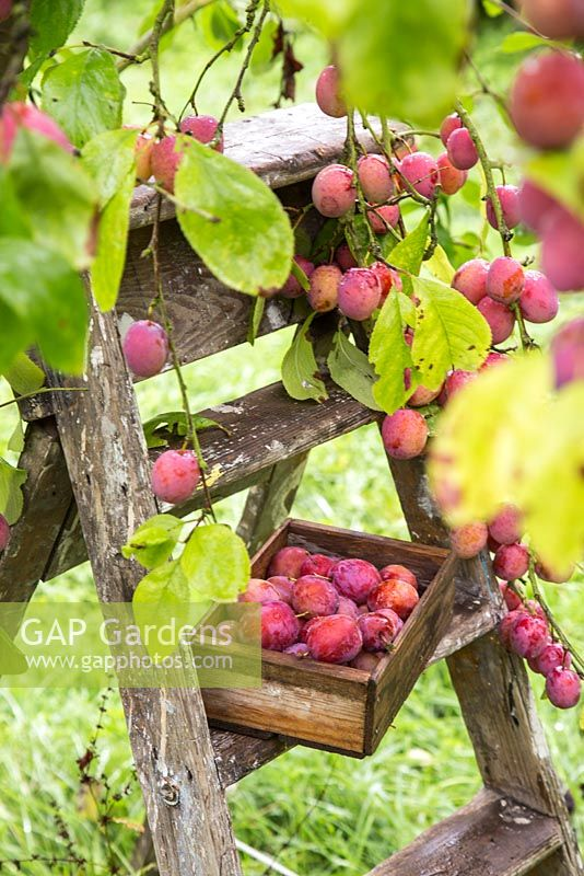 Wooden trug full of harvested Plum 'Victoria'