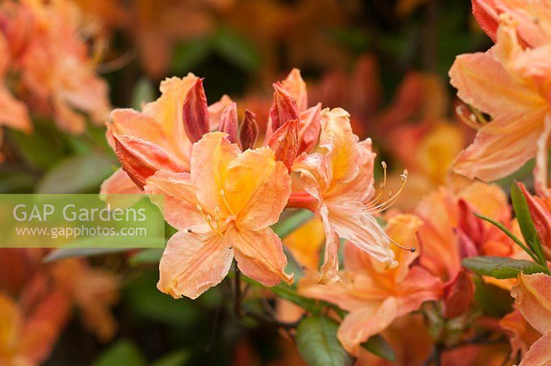 Rhododendron U0027Golden Lightsu0027