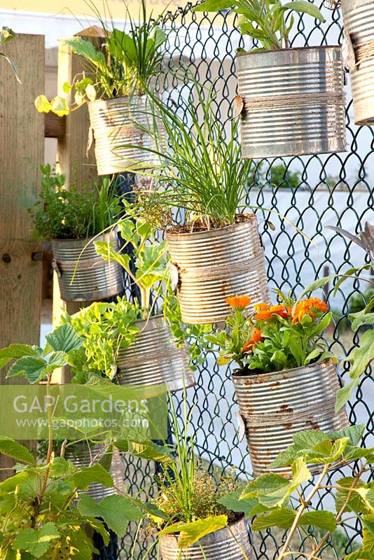 Modern container planting with Thymus, Allium schoenoprasum and Calendula