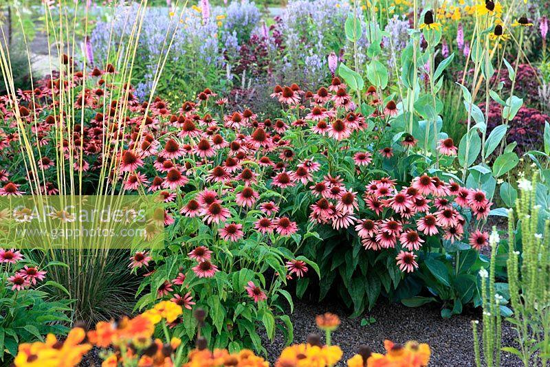 GAP Gardens - Prairie garden with Echinacea \'Sundown\' - Image No ...
