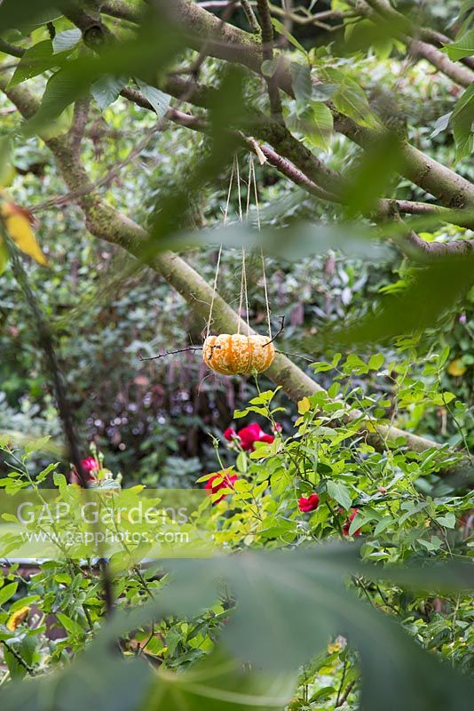 Pumpkin bird feeder filled with sunflower seeds hanging from tree branch