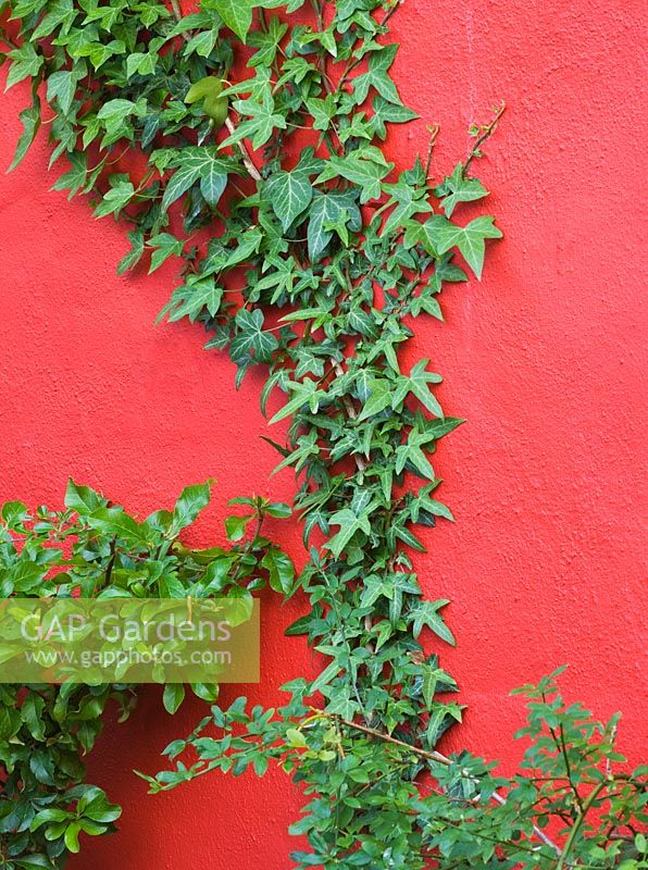 Dark orange painted wall with climbing birds foot ivy