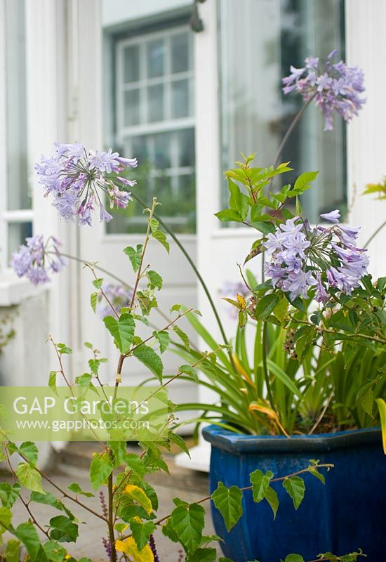 Agapanthus in pot by conservatory, late summer