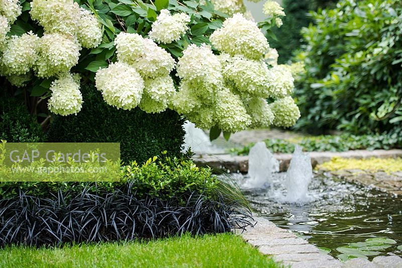GAP Gardens - Hydrangea paniculata \'Limelight\', Ophiopogon ...