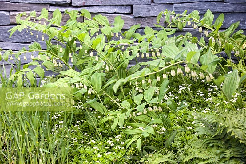 Polygonatum multiflorum and ferns planted against a dry stone wall