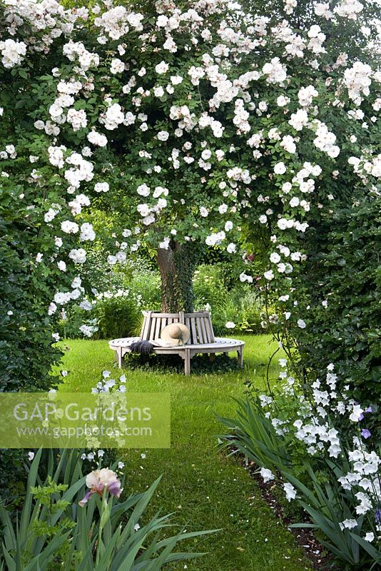 Rosa 'Adelaide d'Orleans', bench around tree, Campanula persicifolia and Fagus sylvatica