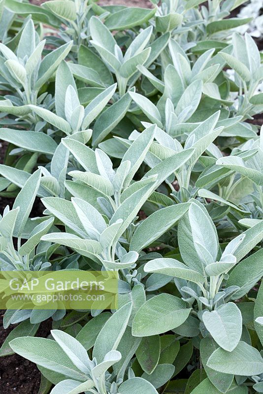 Salvia officinalis 'Major'