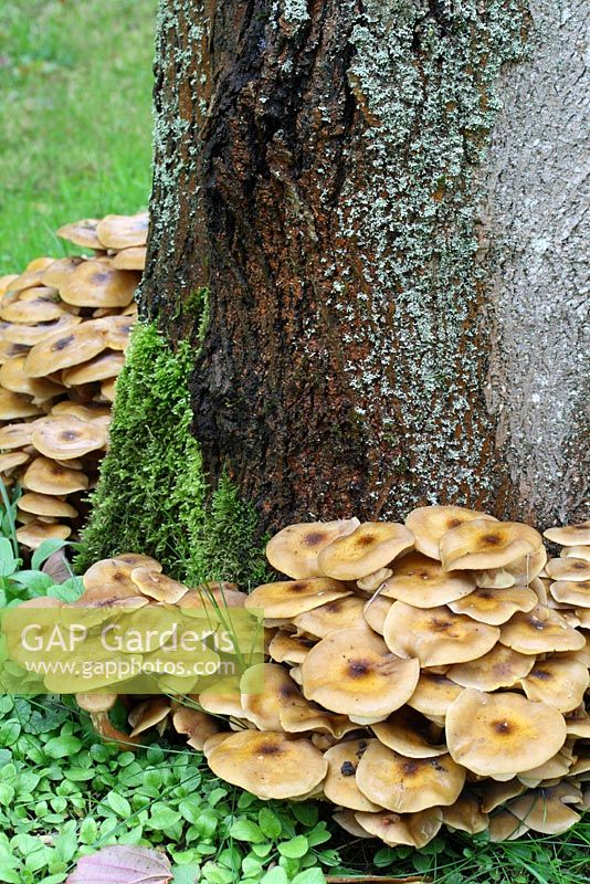 Armillaria - Honey Fungus spreading along tree roots in October, parasitic.