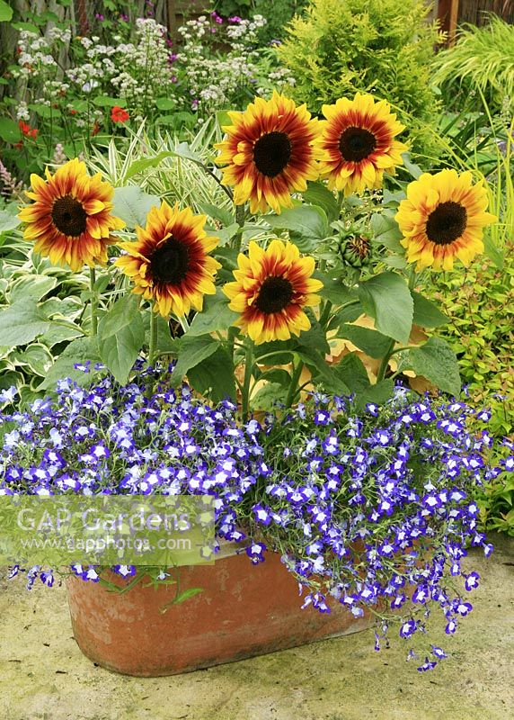 New pollen free dwarf sunflower, Helianthus annuus 'Solar Flash' with its perfect partner, Lobelia 'Waterfall Blue Ice' in a terracotta trough