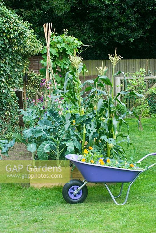 Garden view with vegetable bed and purple wheelbarrow planted with nasturtiums
