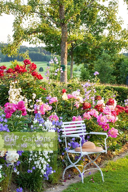 Straw hat on a white painted garden chair in front of a peony border with Paeonia lactiflora 'Bunker Hill', Paeonia Lactiflora 'Catharina Fontijn', Paeonia lactiflora Hybride 'West Elkton' and Campanula persicifolia var. grandiflora with Pyrus domestica behind
