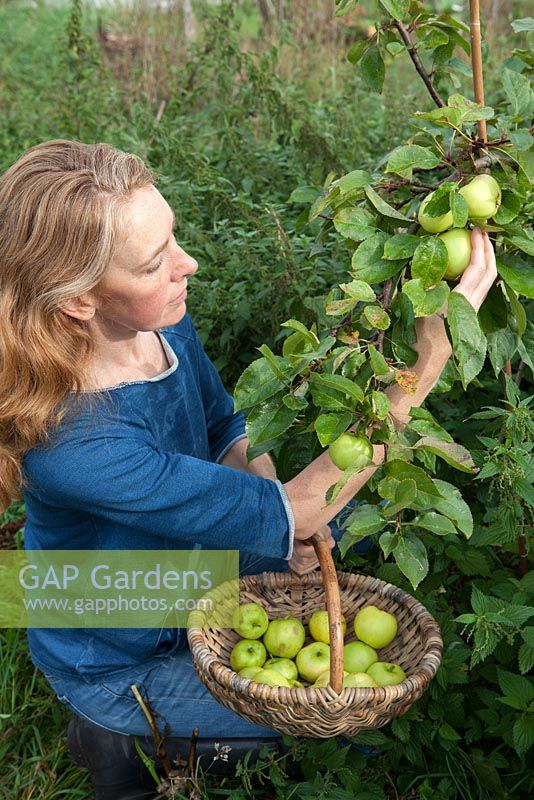Lady picking apples 'Grenadier'