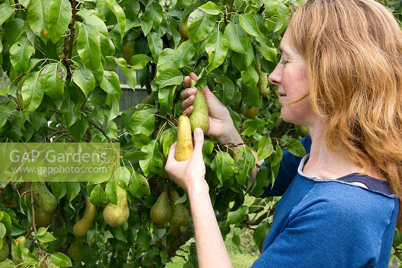 Lady picking pears, pear 'Conference'