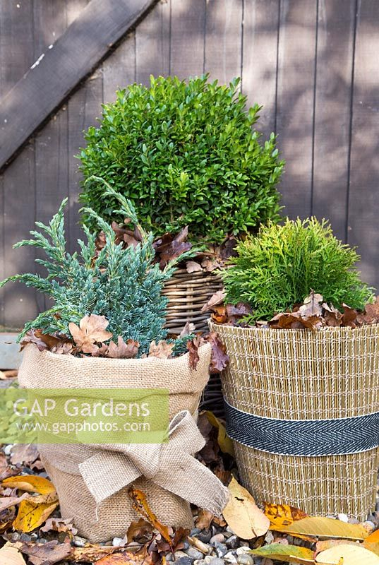 Winter protection. Plant pots wrapped with warm insulative material, filled with autumnal leaves to help insulate and keep warmth inside. Thuja occidentalis 'Danica', Juniperus squamata 'Blue Carpet' and Buxus