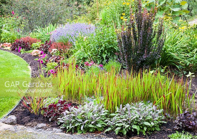 gap gardens imperata cylindrica 39 red baron 39 salvia berberis heuchera in autumn border. Black Bedroom Furniture Sets. Home Design Ideas