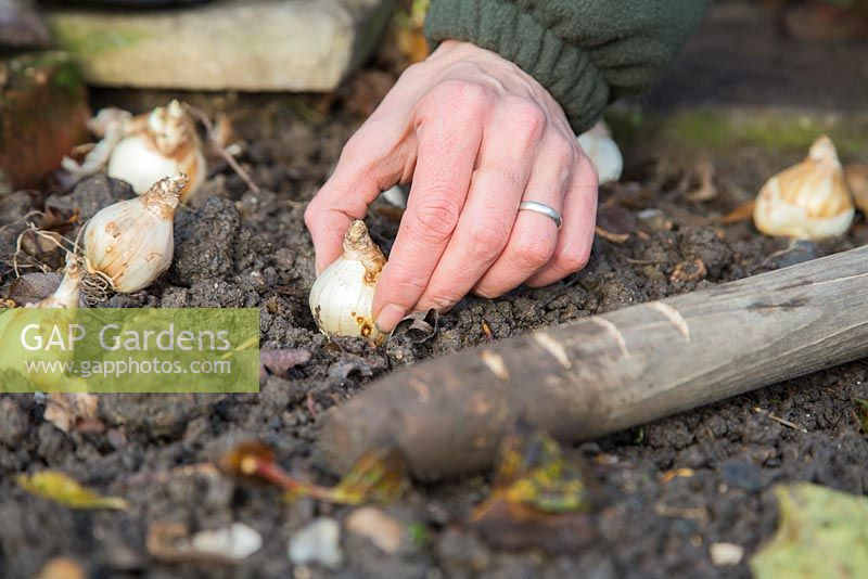 Using homemade bulb planter to plant Narcissus 'Tete-a-Tete' bulbs