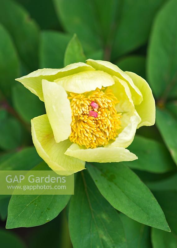 Paeonia mlokosewitschii - molly the witch, caucasian poppy