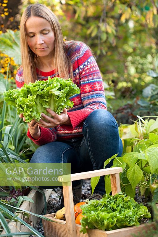 Woman harvesting curly endive 'Gentilina' in vegetable garden.