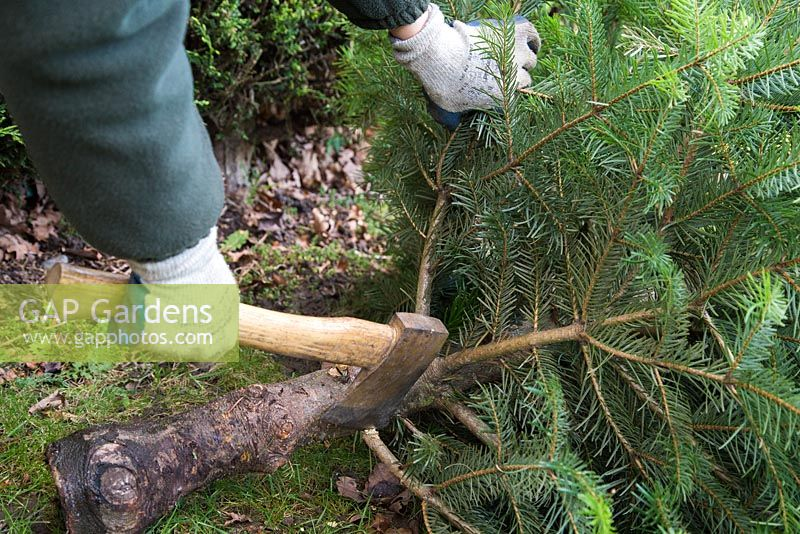 Recycling a Christmas tree for compost. Removing branches of Christmas tree with an axe