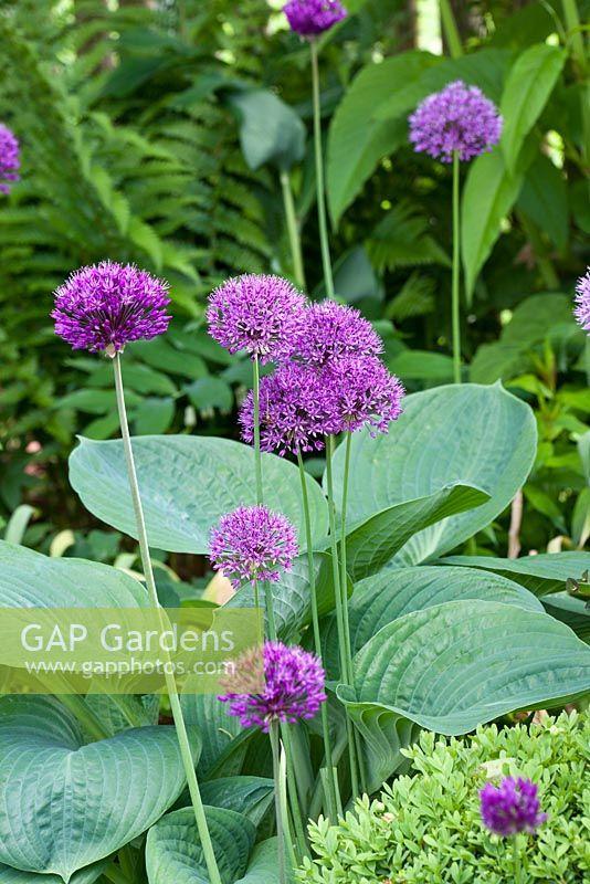 gap gardens allium aflatunense 39 purple sensation 39 hosta nigrescens 39 krossa regal 39 image no. Black Bedroom Furniture Sets. Home Design Ideas