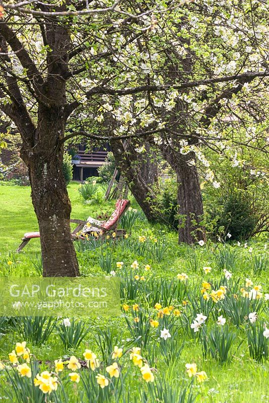 On a flower meadow with daffodils, deck chair under flowering cherry trees, Narcissus; Prunus avium