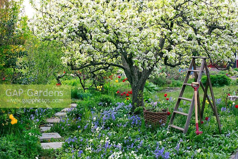 Spring garden with old pear tree in bloom. Wooden ladder, basket and garden spade surrounded by planting of tulips, hosta, bluebells and narcissus